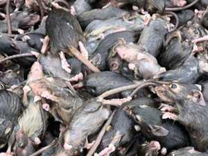 Surprise twist in mouse plague crisis