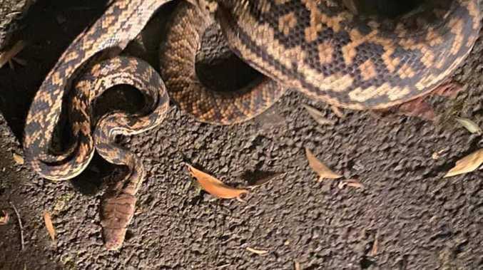 Snake catcher's distress as monster python devours pet cat
