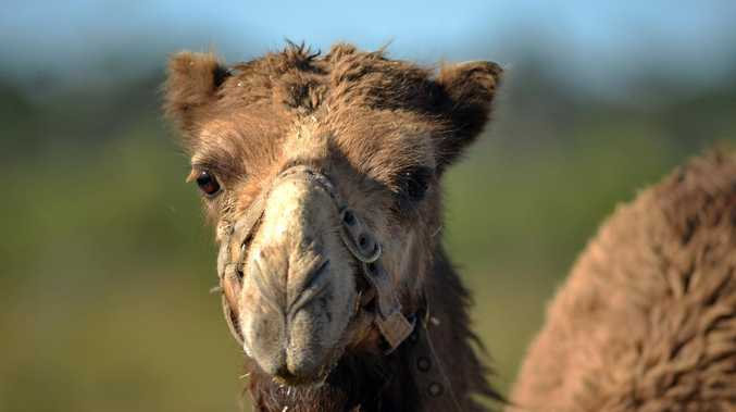 Woman hospitalised after camel attack on Capricorn Highway