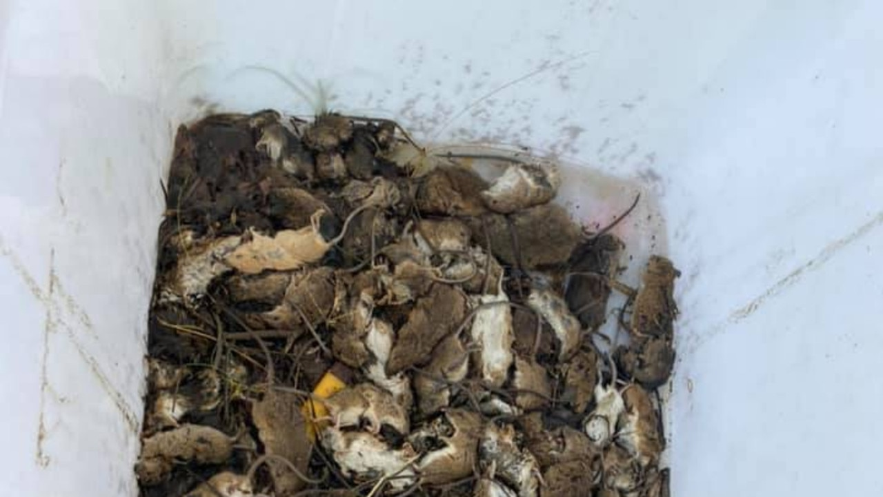 The rodents are multiplying fast and chewing through crops and equipment. Picture: Supplied