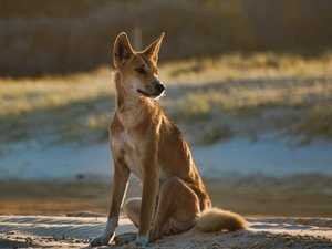 Dingo-proof fence plan to reduce Fraser attacks