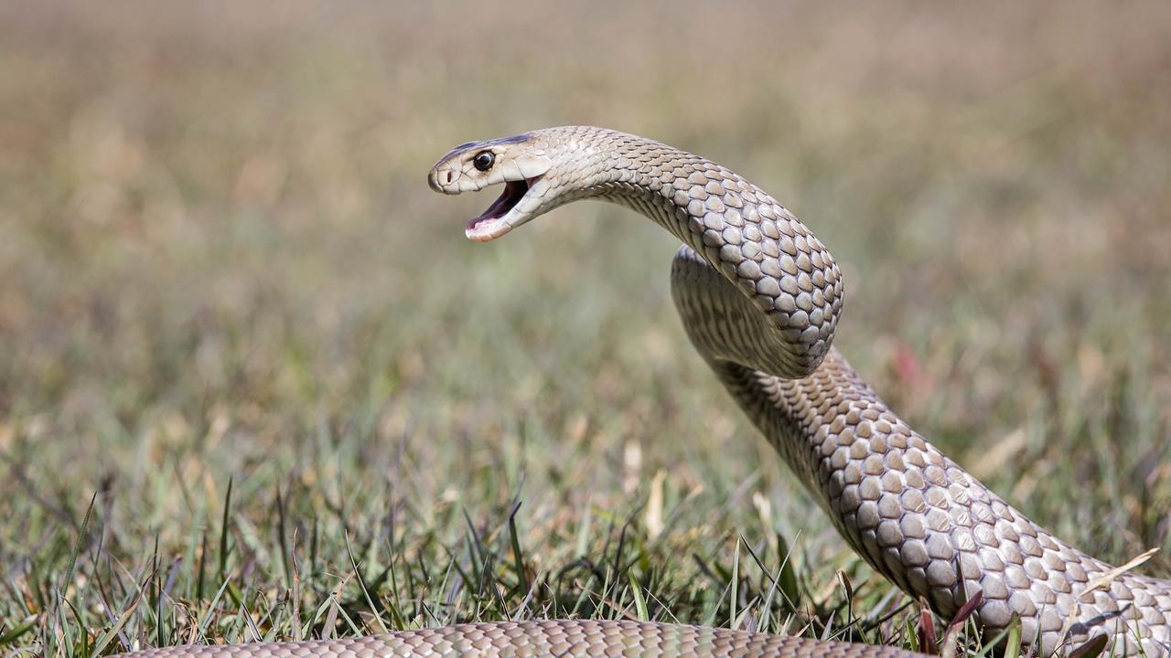 Brown snake. Picture: Rachel Vercoe