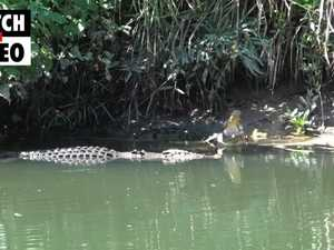 Mother crocodile greets big male