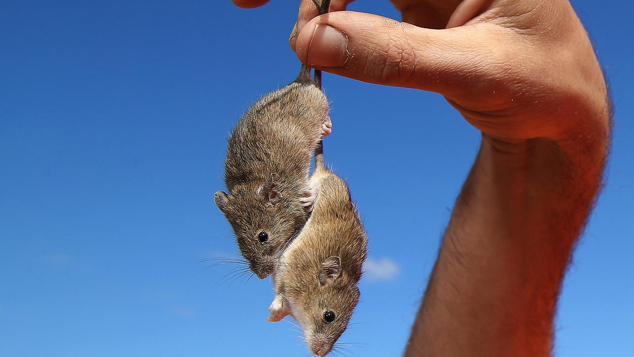 The mice are multiplying quickly across parts of Queensland, NSW, Victoria and South Australia. Picture: David Swift