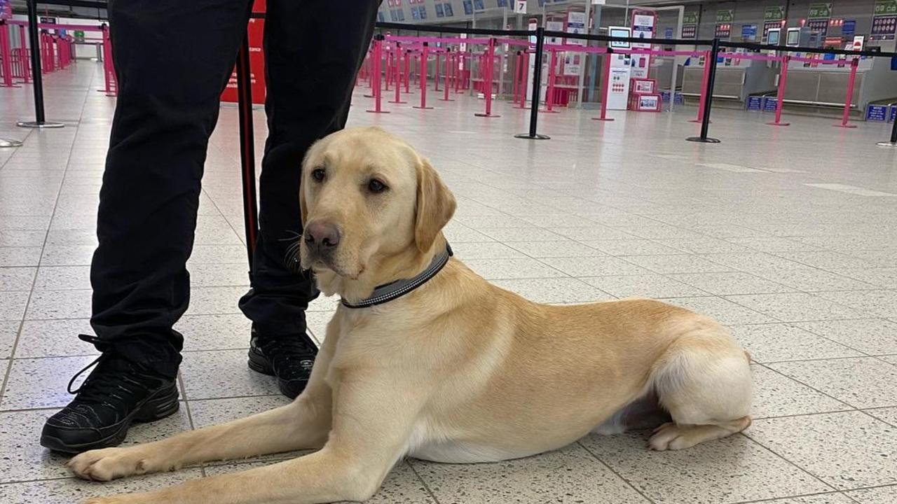 Risultati entusiasmanti dimostrano che i cani possono rilevare in modo affidabile l'odore della malattia COVID-19 mentre discutono di un possibile screening completo al confine.  Foto: in dotazione