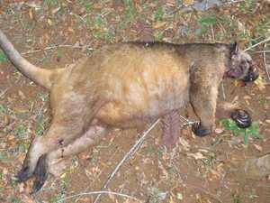 Tree-kangaroo mauled to death in Tablelands tragedy
