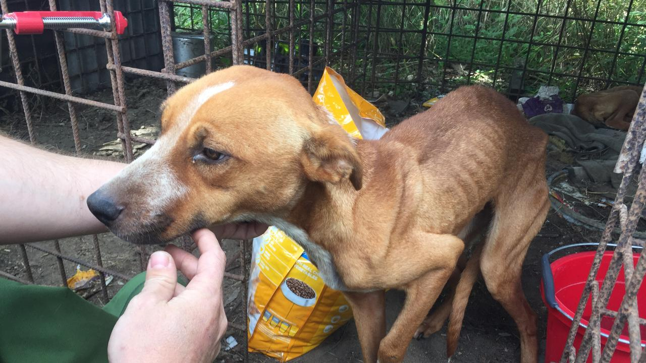 Twelve-month-old Bambi was severely emaciated when RSPCA inspectors attended the Bowen property last June. Picture: Supplied.
