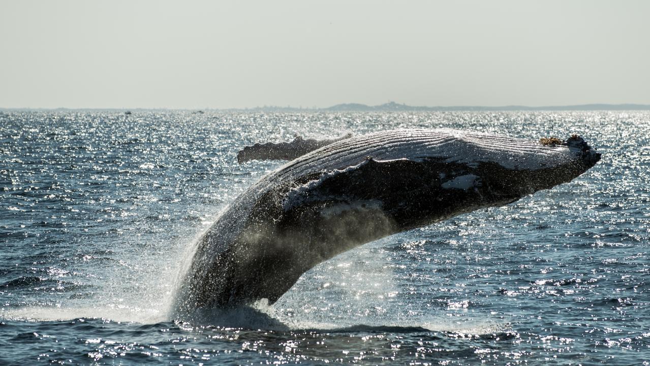 Whale backflip. Picture Migration Media Underwater Imaging