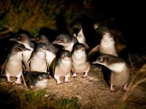 Watching the Bicheno penguins come ashore