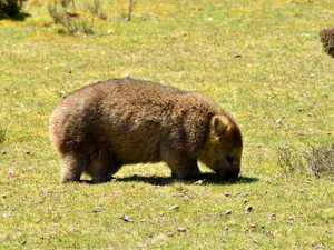 Tasmania's devils, quolls, echnidas and wombats