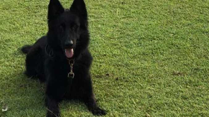 Police dog bite stops runaway Mackay car thief