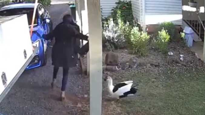 Watch: Pet duck chases would-be trespasser out of yard