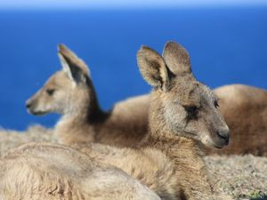 How 'roos are ruining California