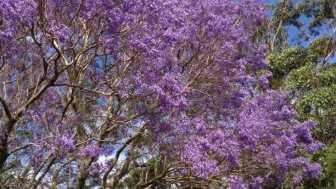 Jacaranda in my garden