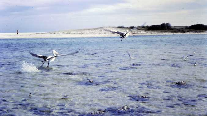 Pelicans Take Flight at Hastings Point 1960s