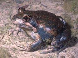 Pobblebonk frogs are out in force due to the recent wet weather.