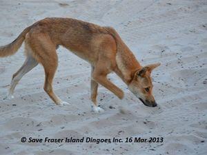 Another dingo death on Fraser Island.