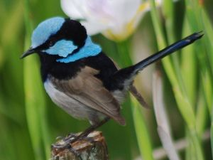 Fairy-wrens: Not as innocent as they look