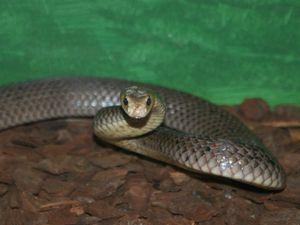 Man, 45, bitten by brown snake on Gayndah property