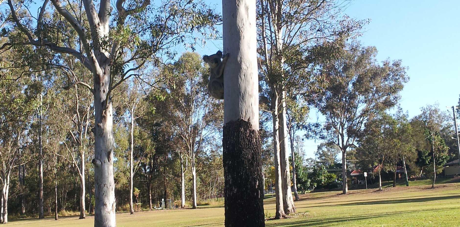 Koala in Goupong Park, Collingwood Park