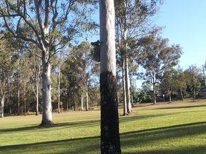 Open season on koalas at Collingwood Park: Dodrill