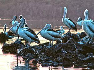 Bacteria causes pelican deaths
