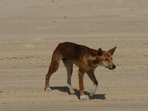 Classing of dingoes may bring protection
