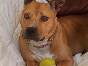 Missing staffy: $150 reward to bring Julia home