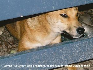 Dingo fence necessary: Save Fraser Island Dingoes