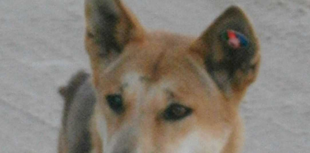 A DINGO has been humanely euthanised after it attacked a tourist on Fraser Island last week.