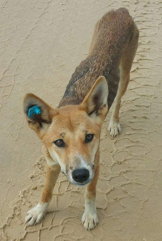 Juvenile dingo claimed to have been euthanised by QPWS.