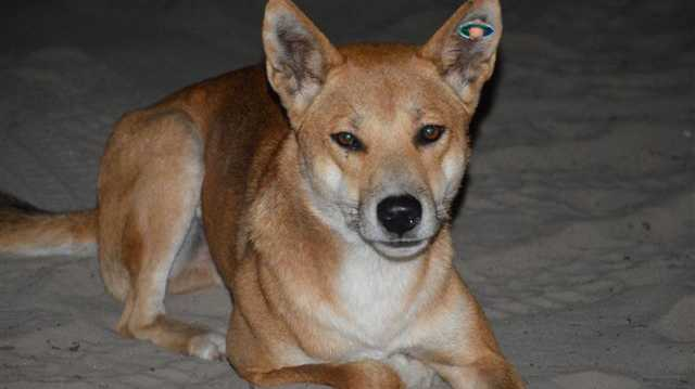 Don't cull the dingoes
