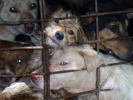 Rescued dogs from illegal dog meat trade