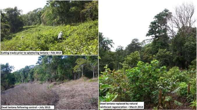 Splatter gun technology transforming Lantana to rainforest