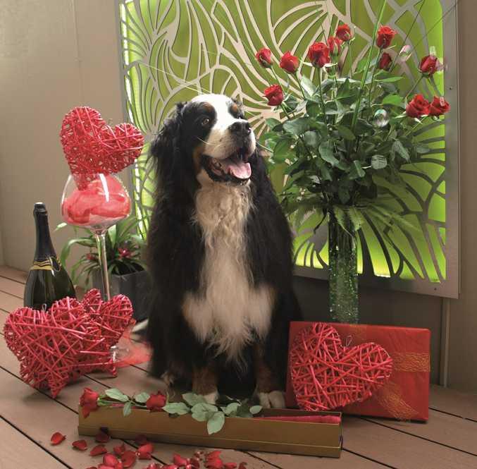 Zeon the Bernese Mountain Dog celebrating Valentine's Day