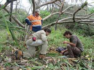 Help save the Pandanus tree