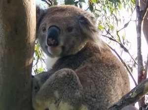 Koalas In Tree Tops Project – Building Corridors