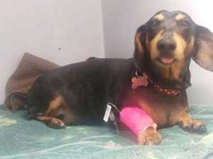 Daphne the dachshund undergoes surgery