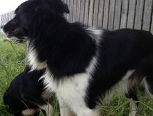 Lost Border Collie in Tullera / Modanville